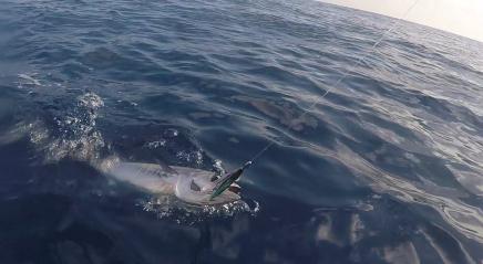 Baby Bluefin