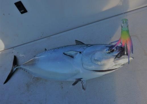 litt;e tuna